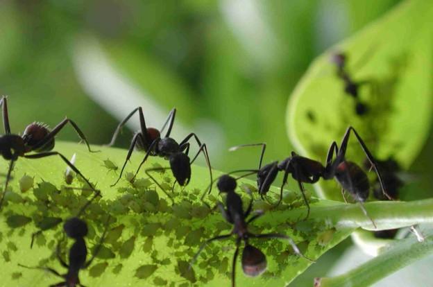 colonias-de-formigas-624x414