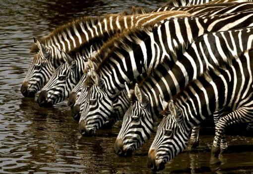 foto-zebras