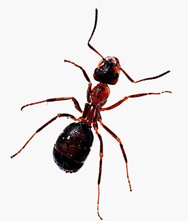 formigas(1)