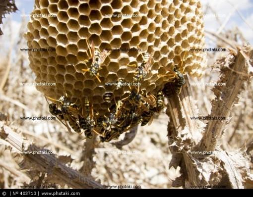ninho-de-vespas--_403713