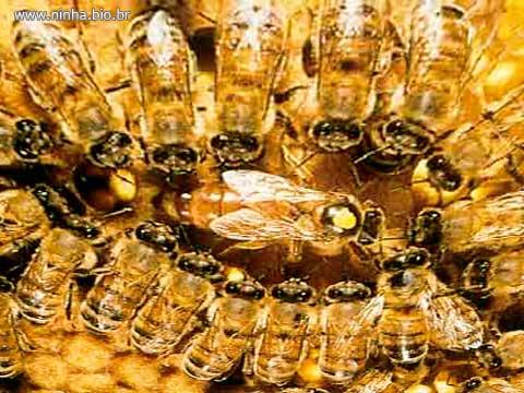 rainha_abelha