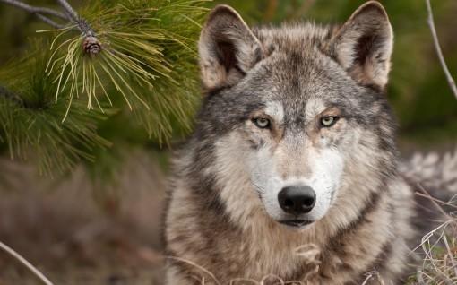 lobo-selvagem-2
