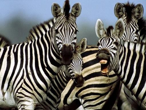 zebra_764_600x450-510x382